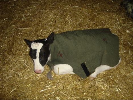 Dairy calf in wool coat | Milk Means More blog